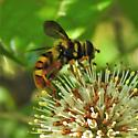 Giant hover fly - Milesia virginiensis