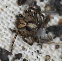 crab spider - Philodromus josemitensis