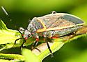 Bordered Plant Bugs (Largidae)  - Largus