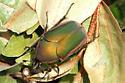 Metallic Copper & Green Beetle - Cotinis nitida