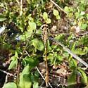 yellow darner - Aphylla