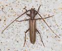 Unidentified Long Horn Beetle - Oeme rigida