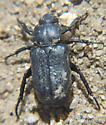 Beetle ID - Cremastocheilus knochii