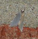 Silvery White Moth - Urola nivalis