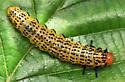 birch sawfly larva - Arge pectoralis