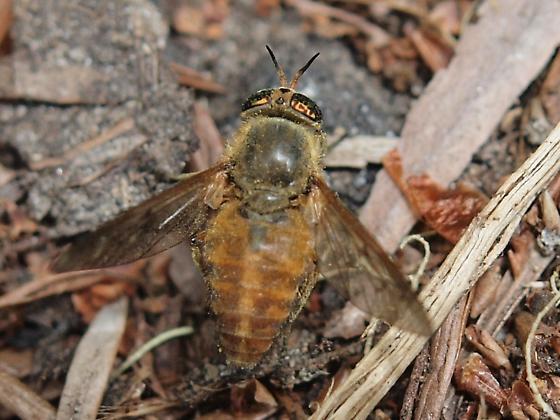 Biting fly - Silvius gigantulus