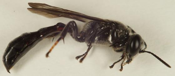 Unknown Hymenoptera - Trypoxylon