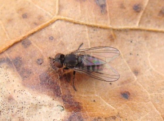 Platypezidae? - Platypeza - female