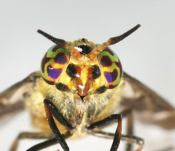 Chrysops - Chrysops abatus - female