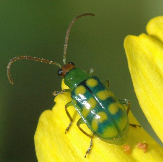 Banded cucumber beetle for California in October - Diabrotica balteata