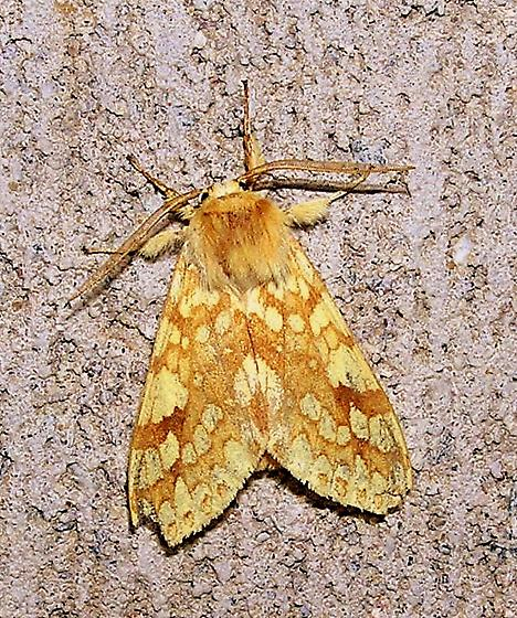 Another Moth to Name - Lophocampa maculata