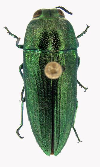 Agaeocera gentilis (Horn) - Agaeocera gentilis