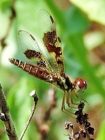 very small odonata, brown - Perithemis tenera - female