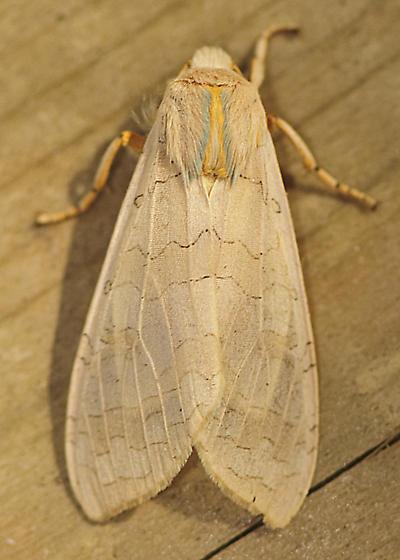 Mystery Moth 7 - Halysidota
