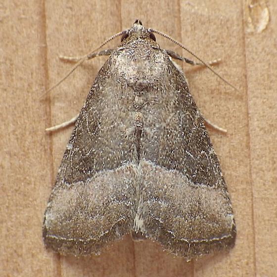 Noctuidae: Odoconta cinereola - Ogdoconta cinereola