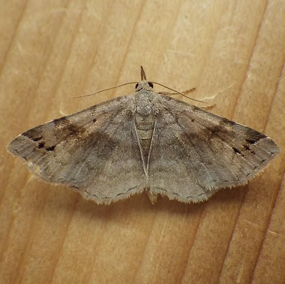 Erebidae: Spargaloma sexpunctata - Spargaloma sexpunctata