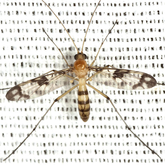 Predatory Fungus Gnat - Macrocera formosa - female