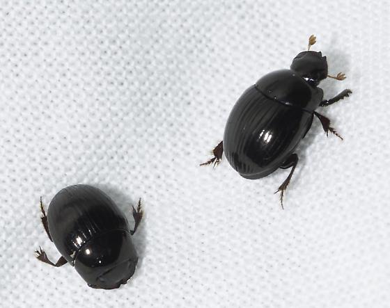 shiny scarab - Ateuchus lecontei