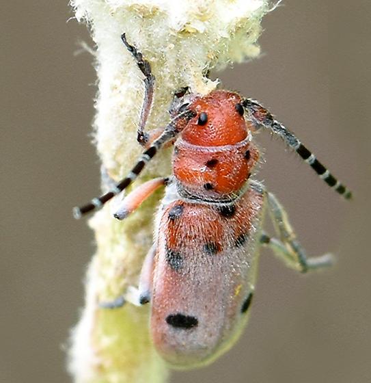 Red-femured Milkweed Longhorn - Tetraopes femoratus