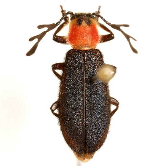 Chariessa texana Wolcott - Chariessa texana - male