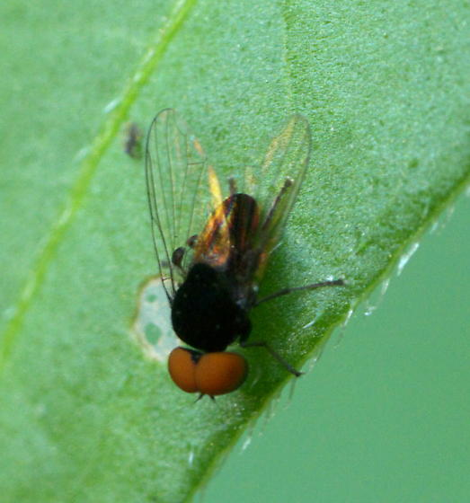 A Small Black Fly with Big Red Eyes