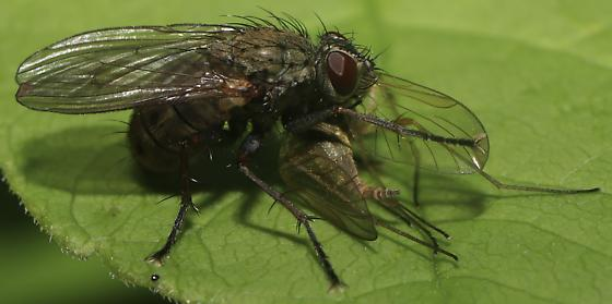 Awesome little fly with prey  - Coenosia