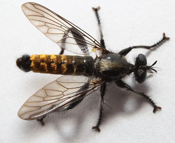 Laphria index - male