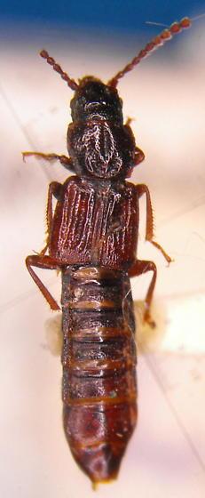 Coprophilus striatulus (Fabricius) - Coprophilus striatulus