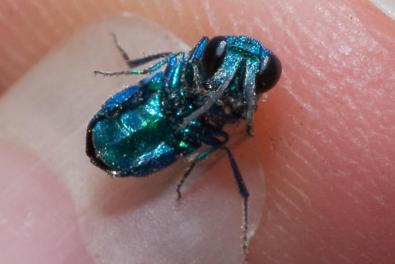 Cuckoo Wasp - Ceratochrysis