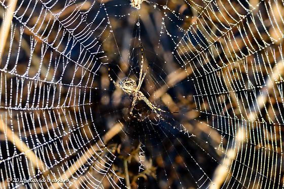Spider Fiesta Island, San Diego - Argiope argentata