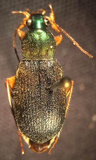 Chlaenius tricolor