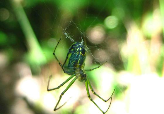 Can you please identify this for me! - Leucauge