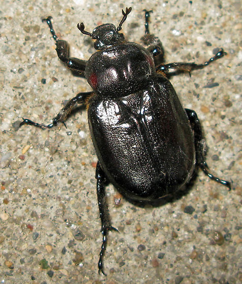 large red-shouldered beetle - Osmoderma subplanata