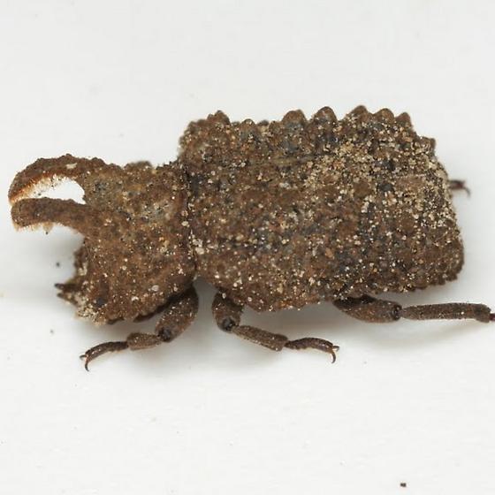 Bolitotherus cornutus (Panzer) - Bolitotherus cornutus - male