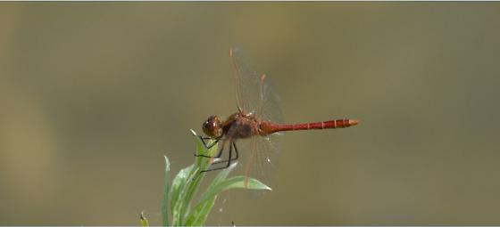 Sympetrum costiferum (Saffron-winged Meadowawk) - ONTARIO - Sympetrum costiferum - male
