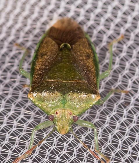 Green Stink Bug - Banasa calva? - Banasa calva