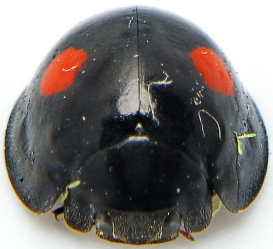 Chilocorus stigma