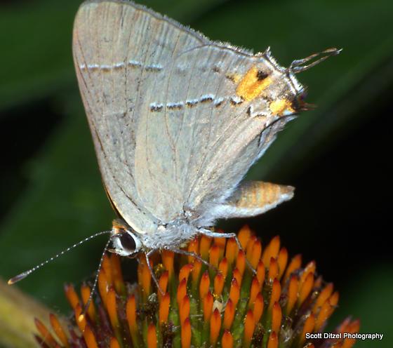 Small butterfly - Strymon melinus - male