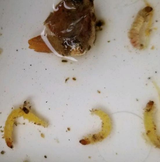 Eumeninae larvae?
