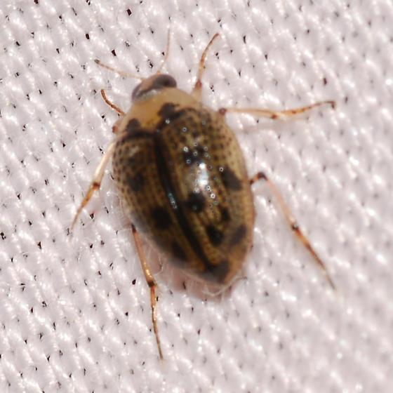 beetle - Peltodytes edentulus