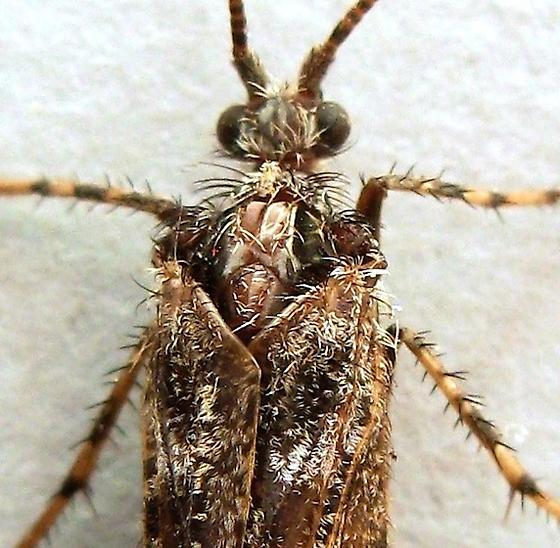 Caddisfly - Lenarchus rillus - female
