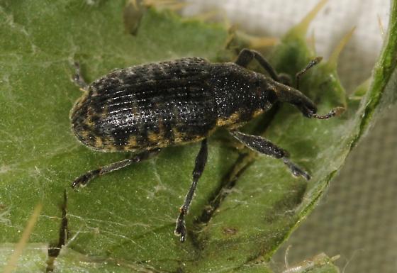 thistle weevil - Larinus planus