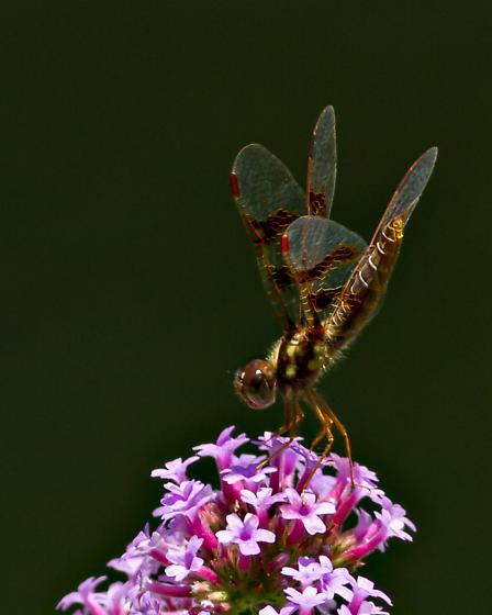 Orange Dragonfly - Perithemis tenera - female