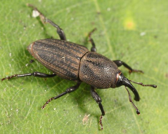Sphenophorus venatus? - Sphenophorus parvulus