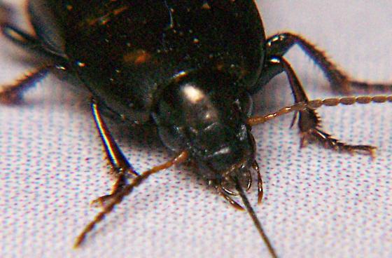 Ground beetle? - Amara