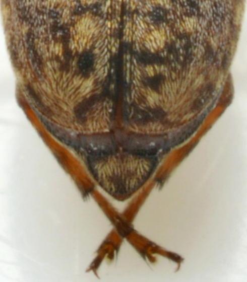 Araecerus fasciculatus