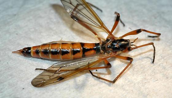 Large Crane Fly - Phoroctenia vittata