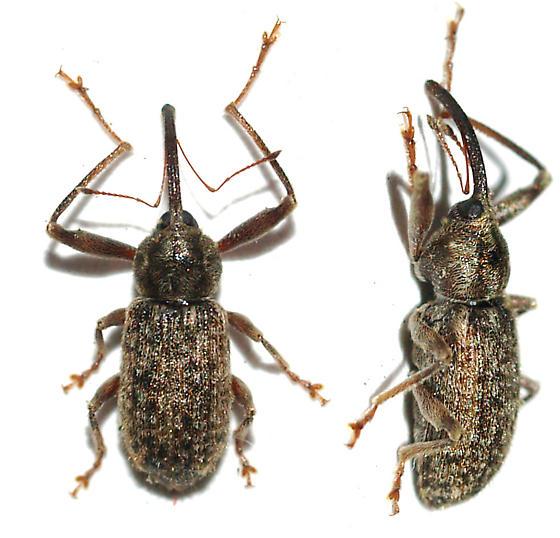 Weevil on Cottonwood - Dorytomus inaequalis