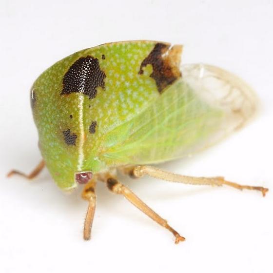 Ceresa inermis (Fabricius) - Stictocephala inermis