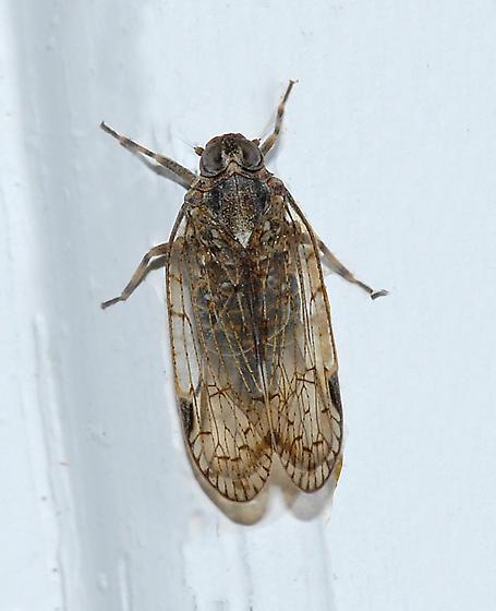 Unknown - Melanoliarus